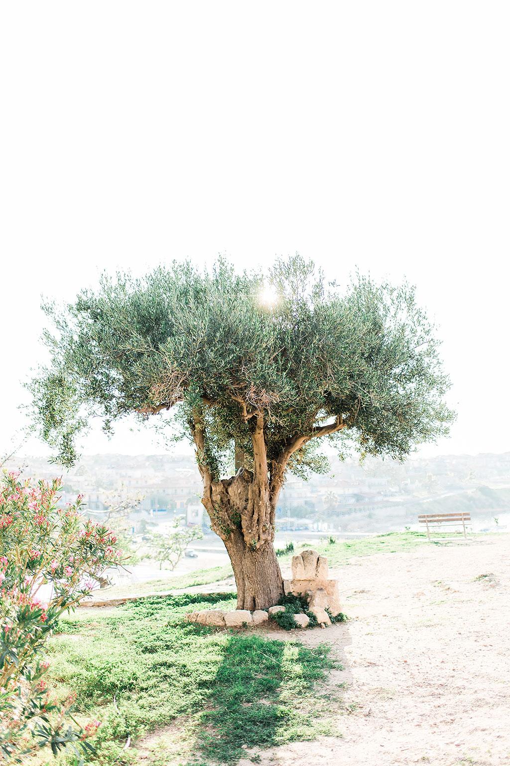 Αρχαίο ελαιόδεντρο,